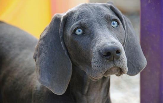 Веймарская легавая собака с голубыми глазами