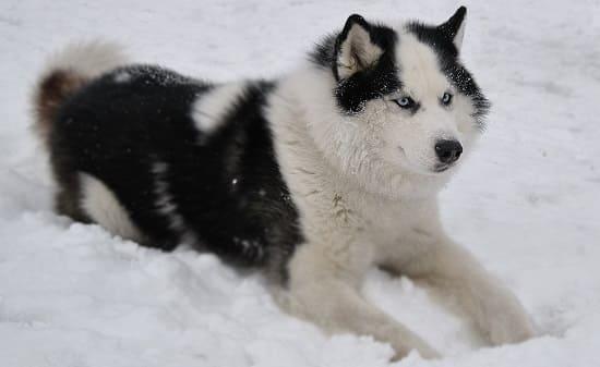 Чёрно-белая якутская лайка
