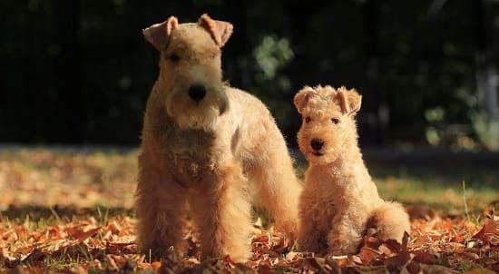 Лейклен-терьер со щенком