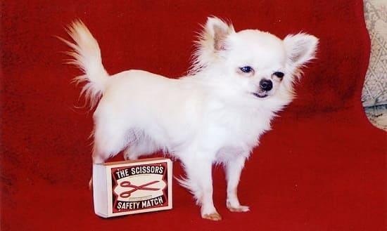 Данка: самая маленькая собака в мире 2004 года