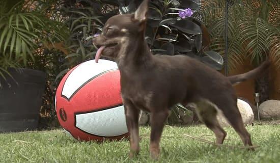 Милли: самая миниатюрная собака в Книге рекордов Гиннеса с 2014 года