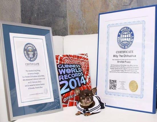 Взрослая Милли: самая мелка собака в мире с сертификатом Книги рекордов Гиннеса