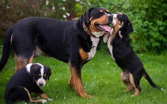 Большой швейцарский зенненхунд со щенками