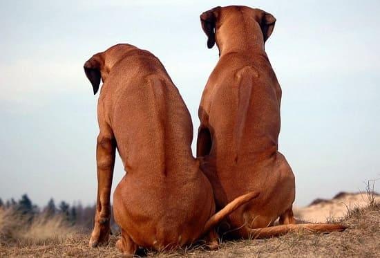 Ридж на спине родезийских риджбеков