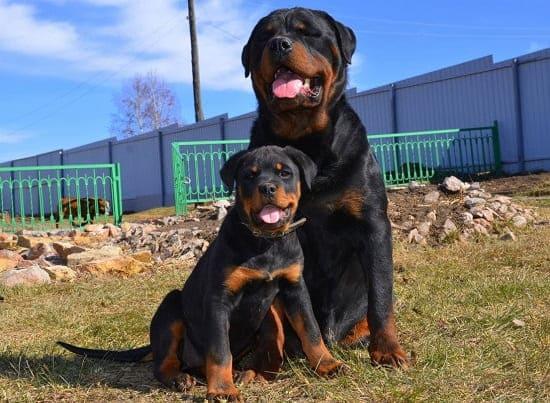 Ротвейлер взрослый и щенок