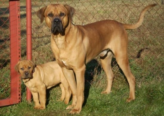 Таса ину со щенком