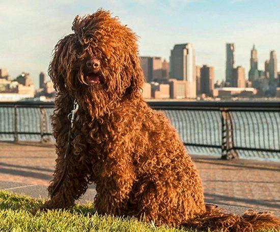 Французская водяная собака барбет.