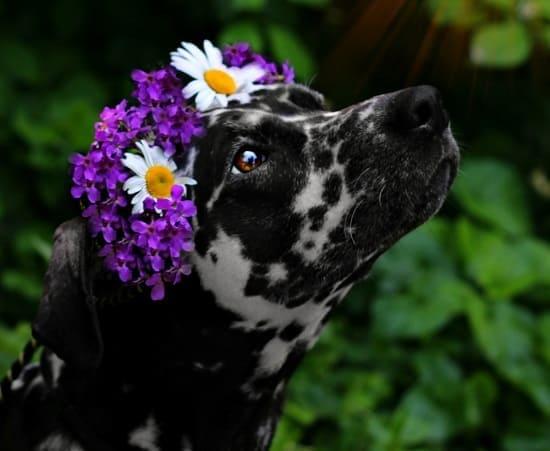 Далматин Кассандра в цветочном венке