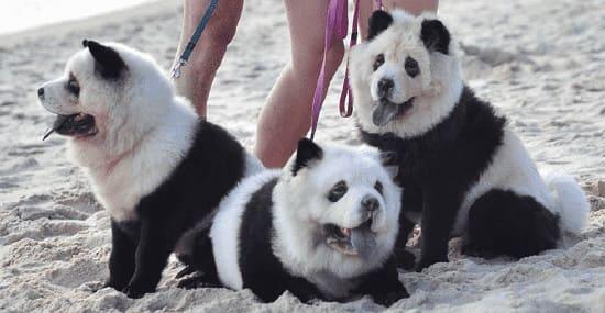 Чау-чау, покрашенные под панду