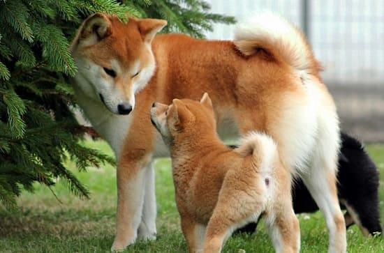 Взрослый сиба ину со щенком