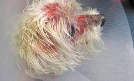 Саркоптоз на голове у собаки