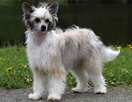 Китайская хохлатая пуховая собака