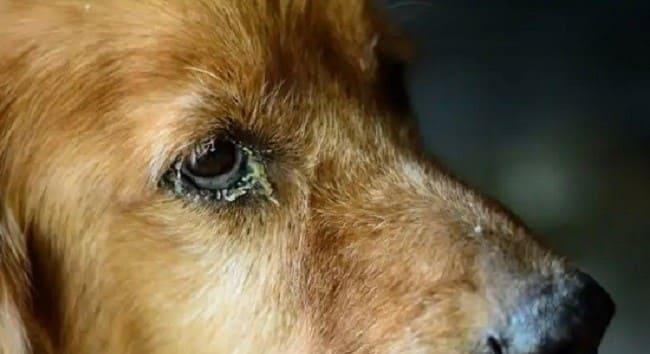 Пёс с гнойными выделениями из глаз