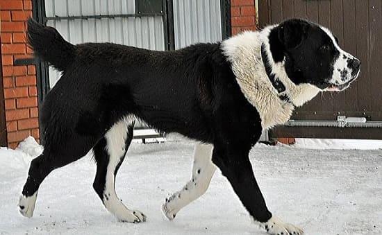 Среднеазиатская овчарка алабай